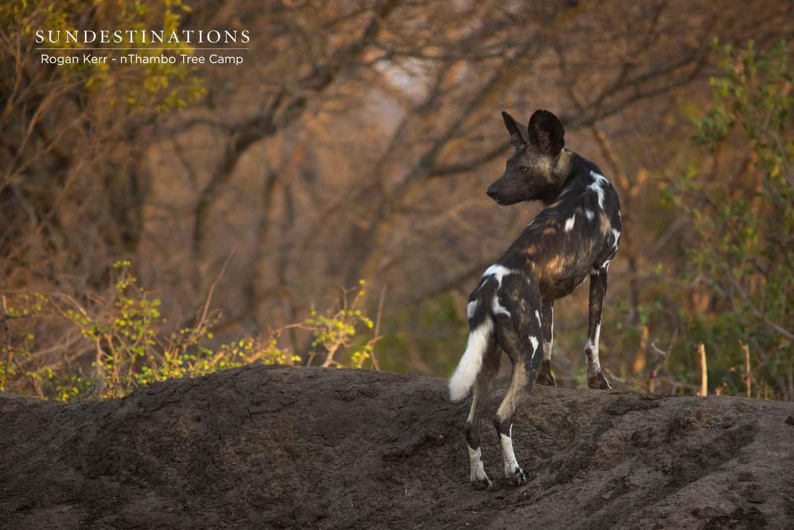 Wild Dogs nThambo