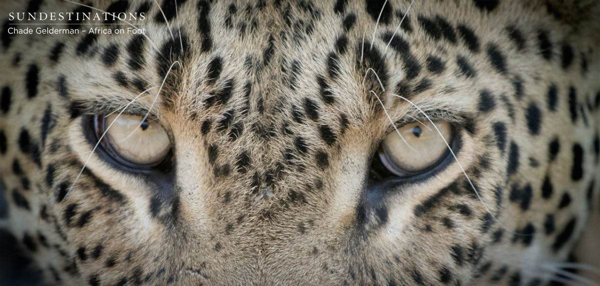 Africa on Foot Leopard Eyes