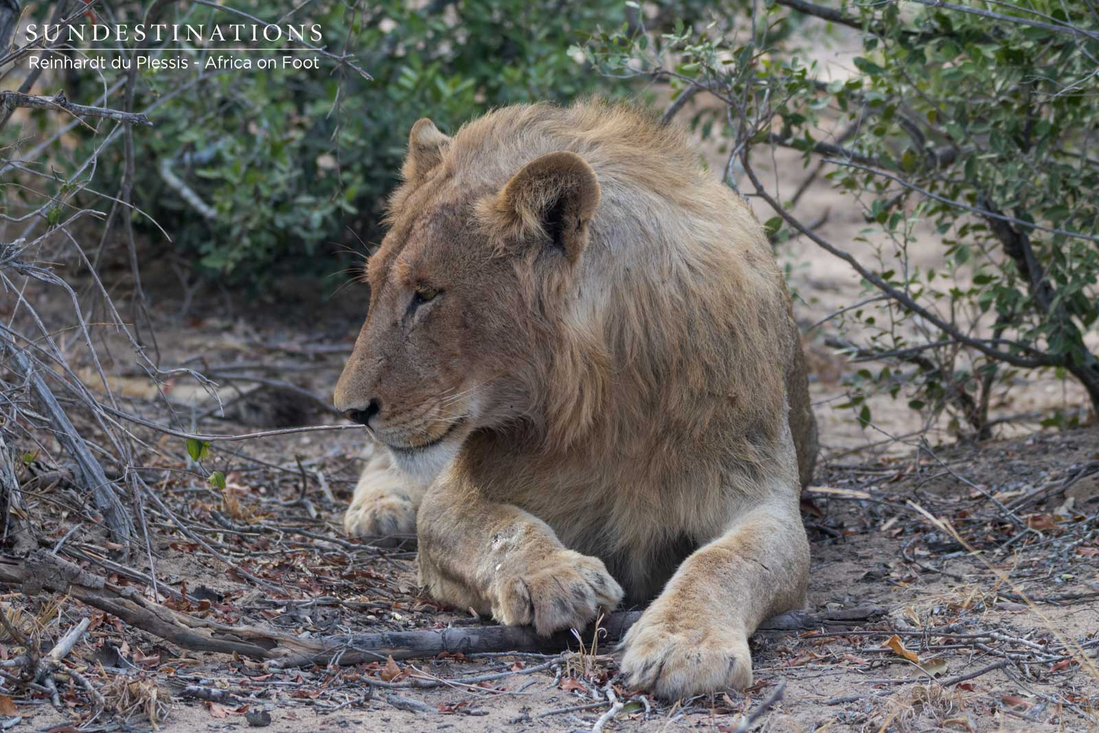 Africa on Foot Lion
