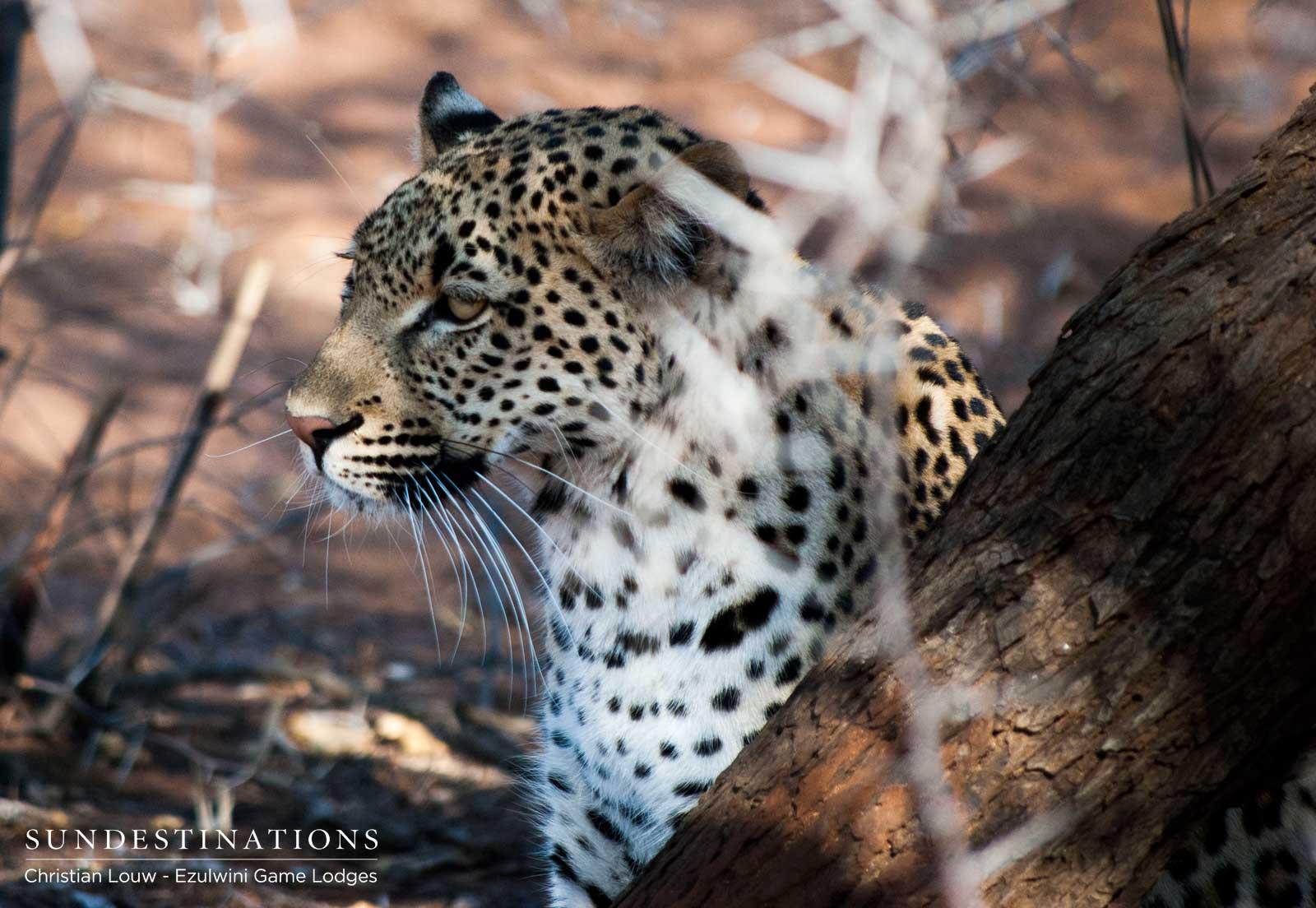 Ezulwini Thuli the Leopard