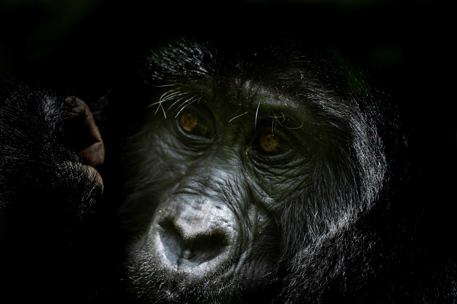 The Mountain Gorillas of Bwindi Impenetrable Forest