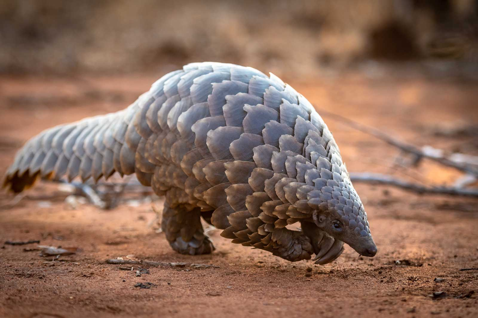 Collection of Photos of Pangolin Sightings in the Greater Kruger