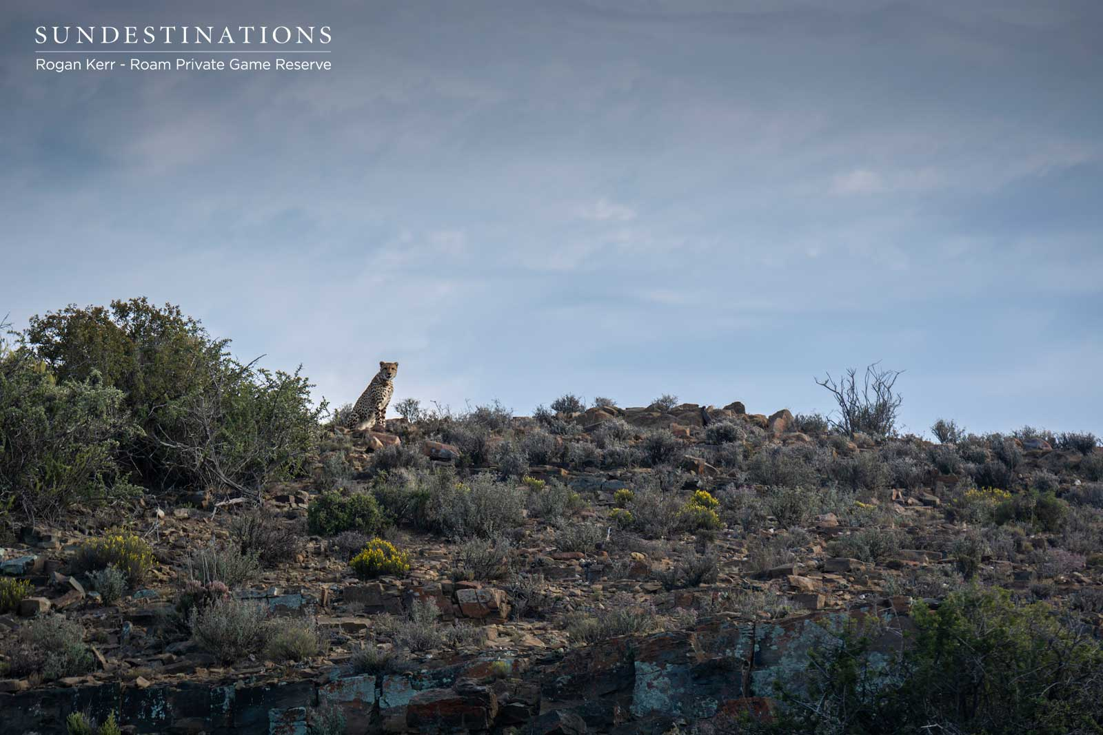 Cheetah on the Rocky Ridge