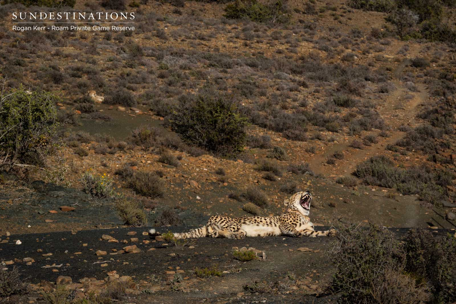 Cheetah in the Great Karoo