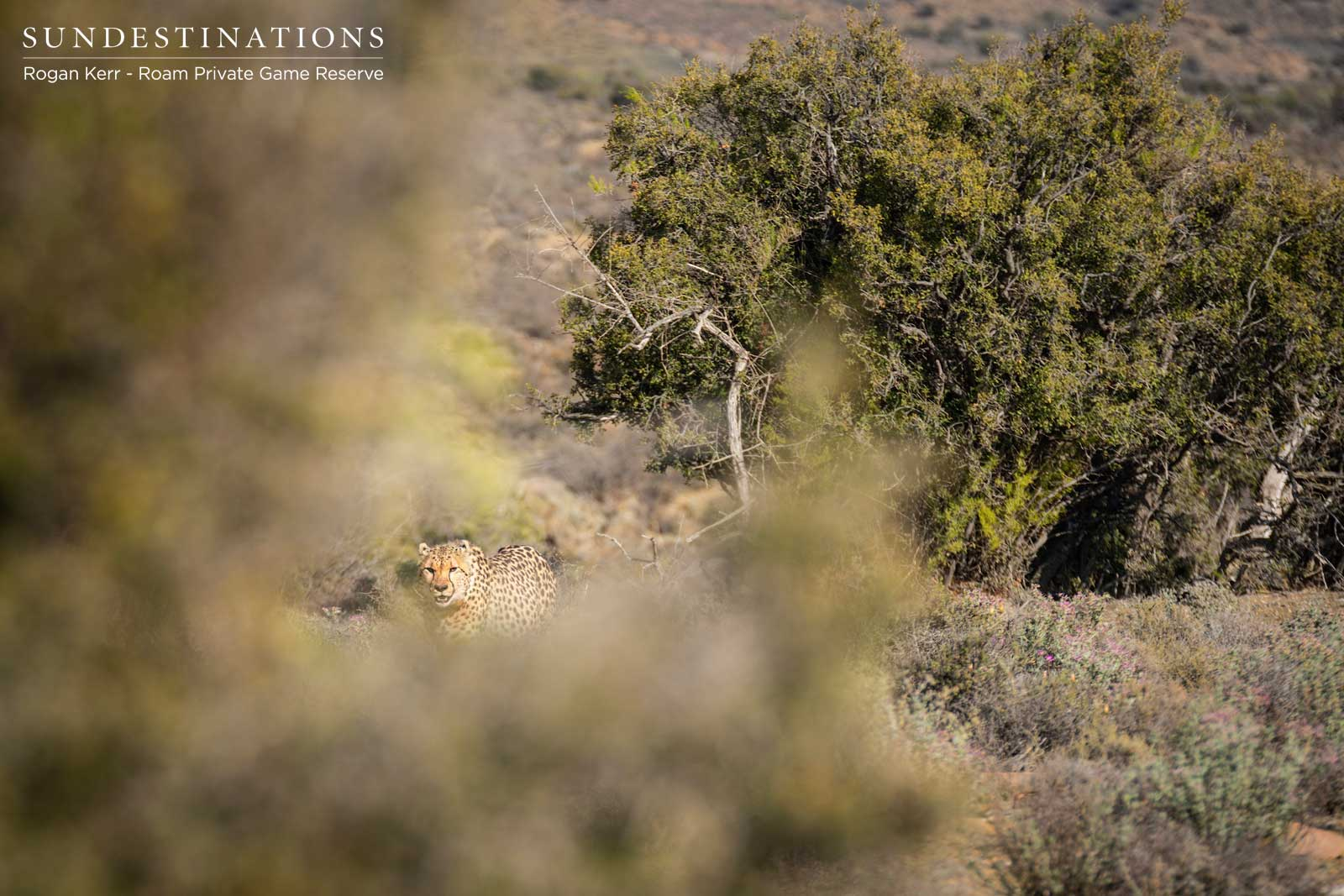 Cheetah in Roam Private Game Reserve