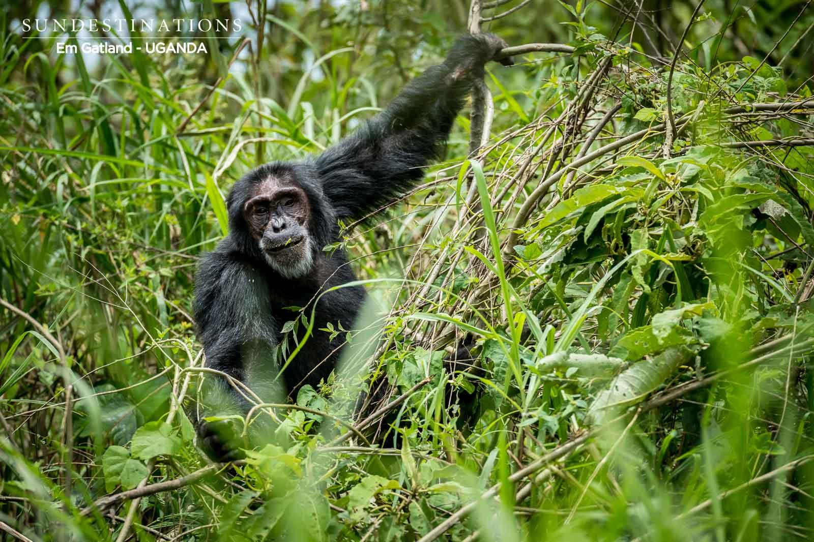 Uganda Chimpanzee Tracking