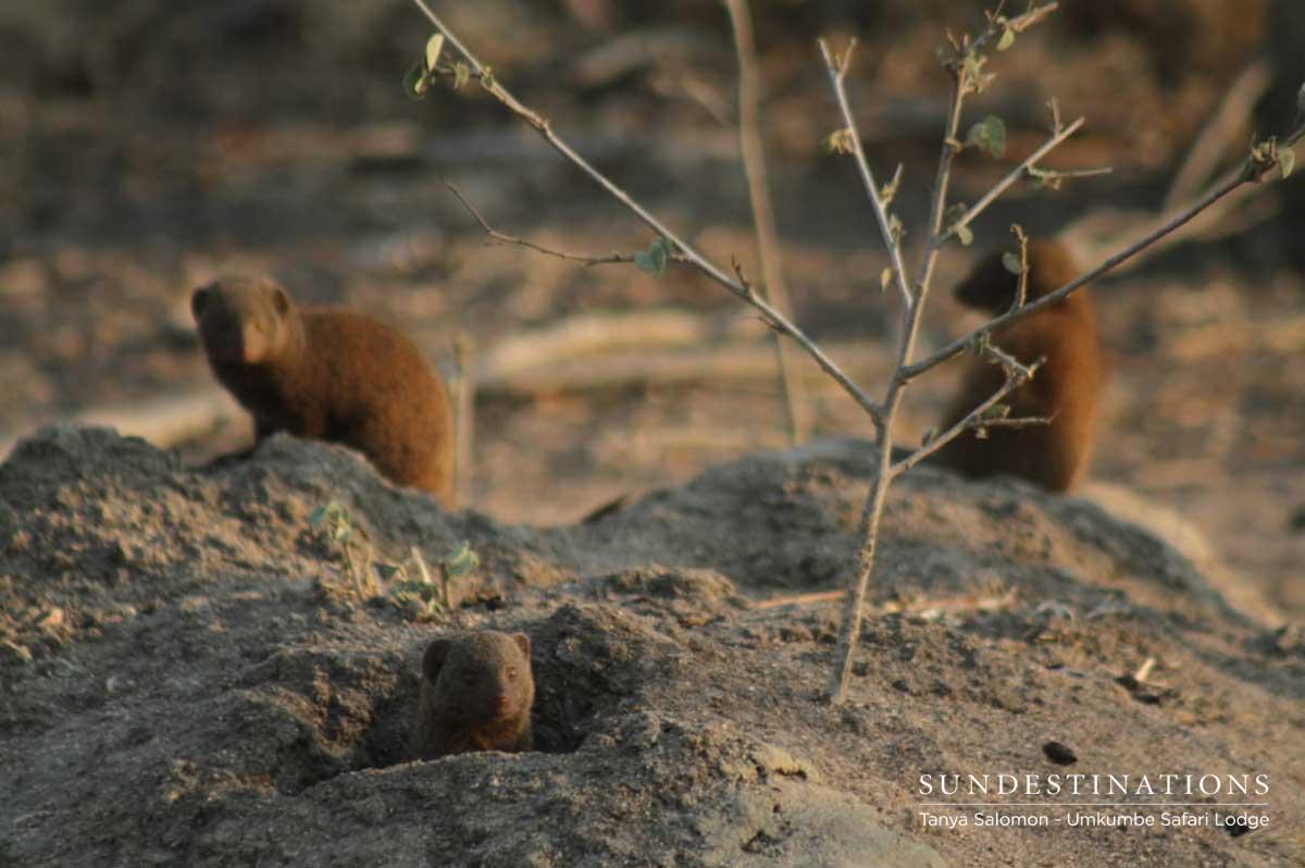 Umkumbe Dwarf Mongoose