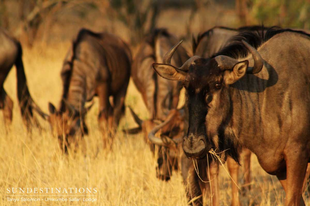 Wildebeest at Umkumbe Safari Lodge