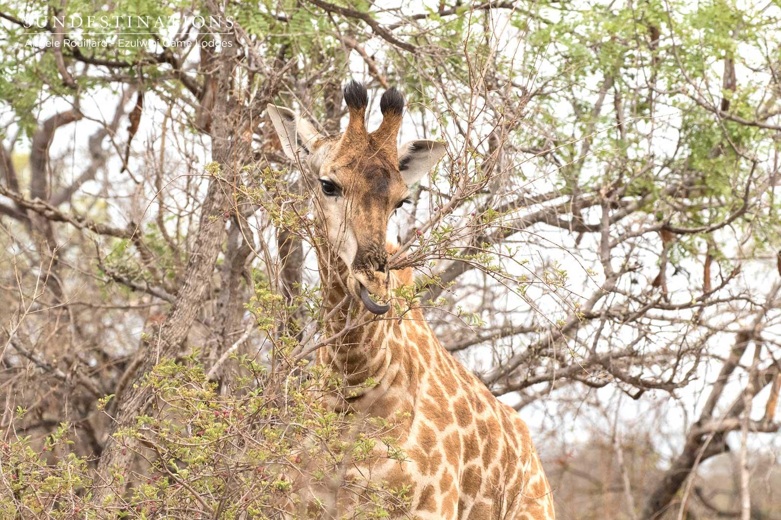 Giraffe in Balule