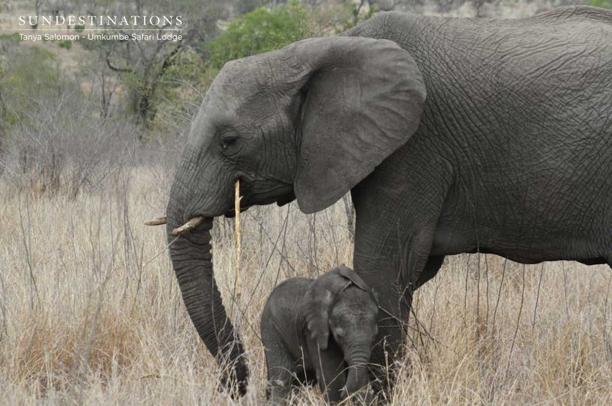 Elephant Calf at Umkumbe Safari Lodge