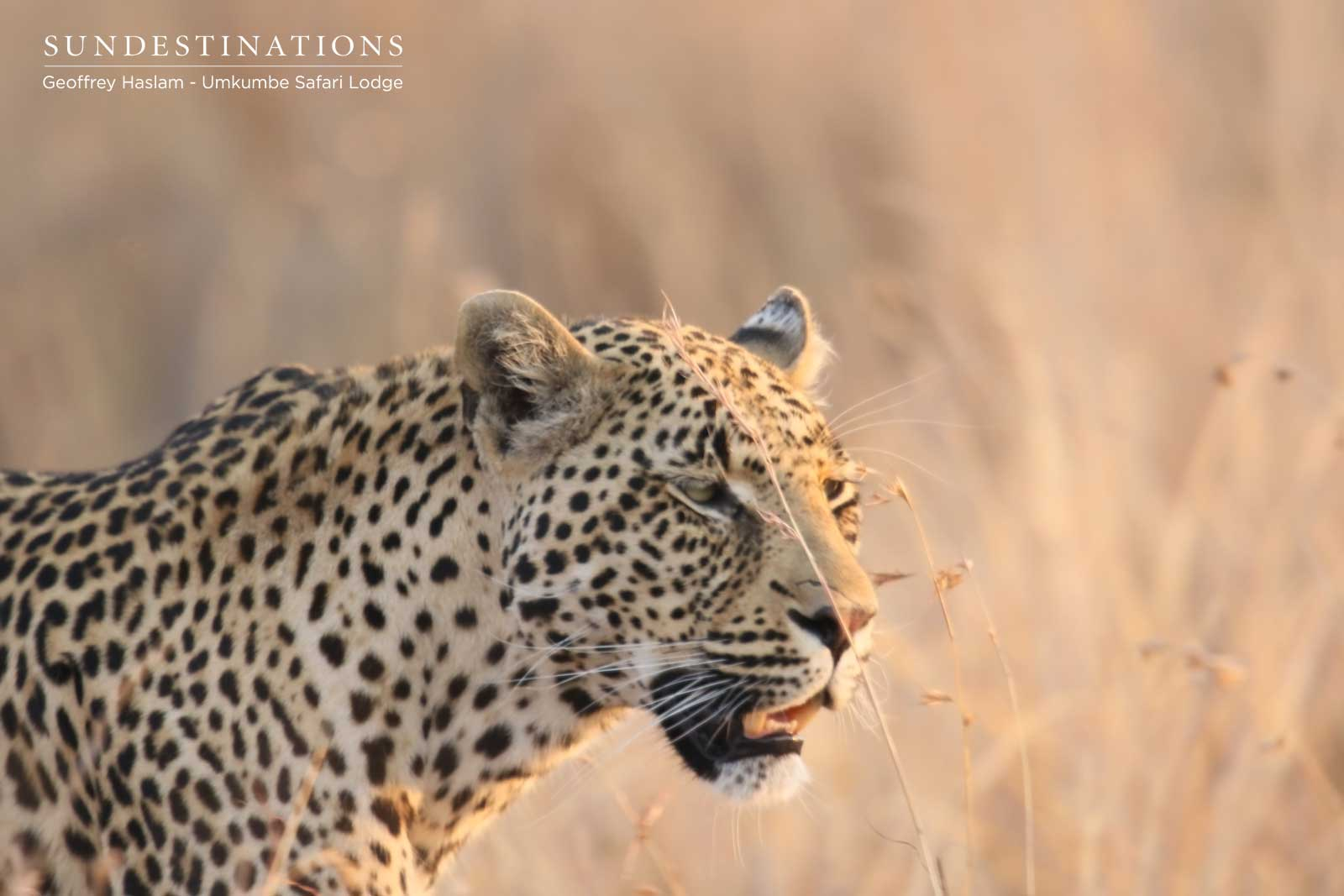 Nweti the Leopard