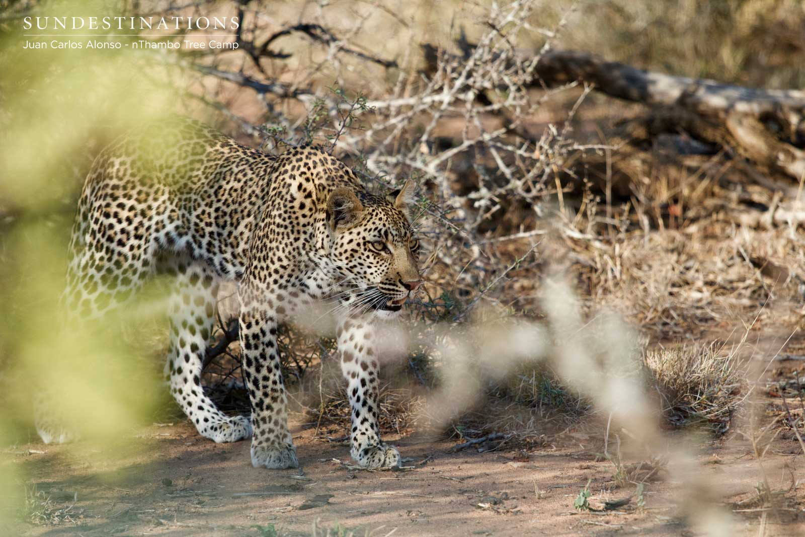 Nyeleti the Leopard
