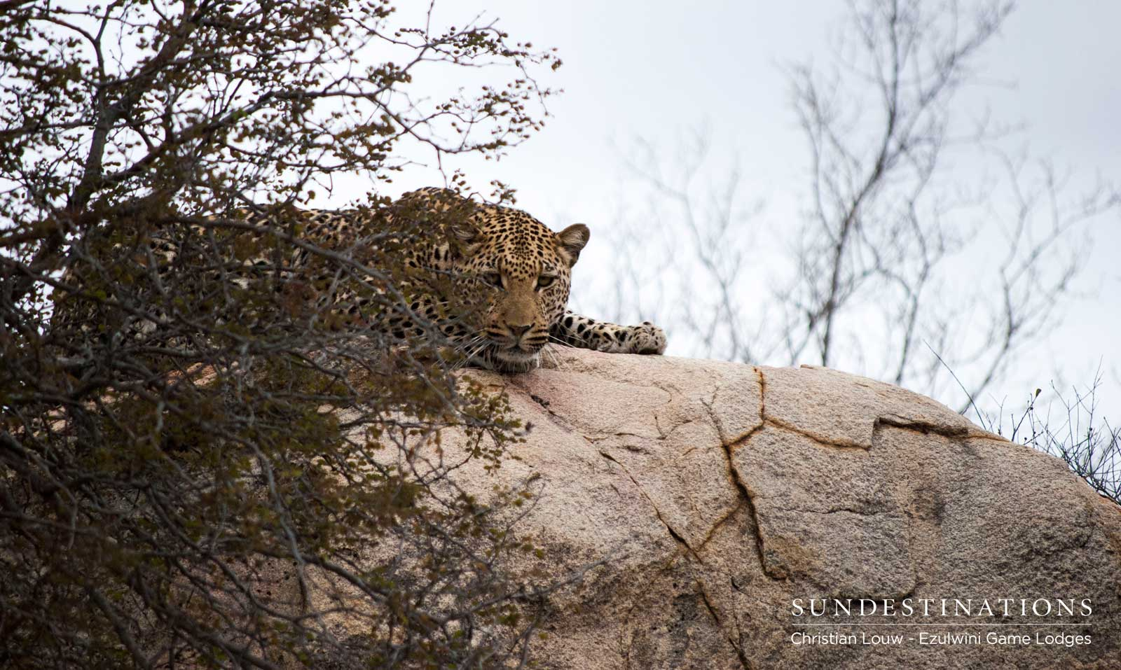 Unknown Leopard in Balule