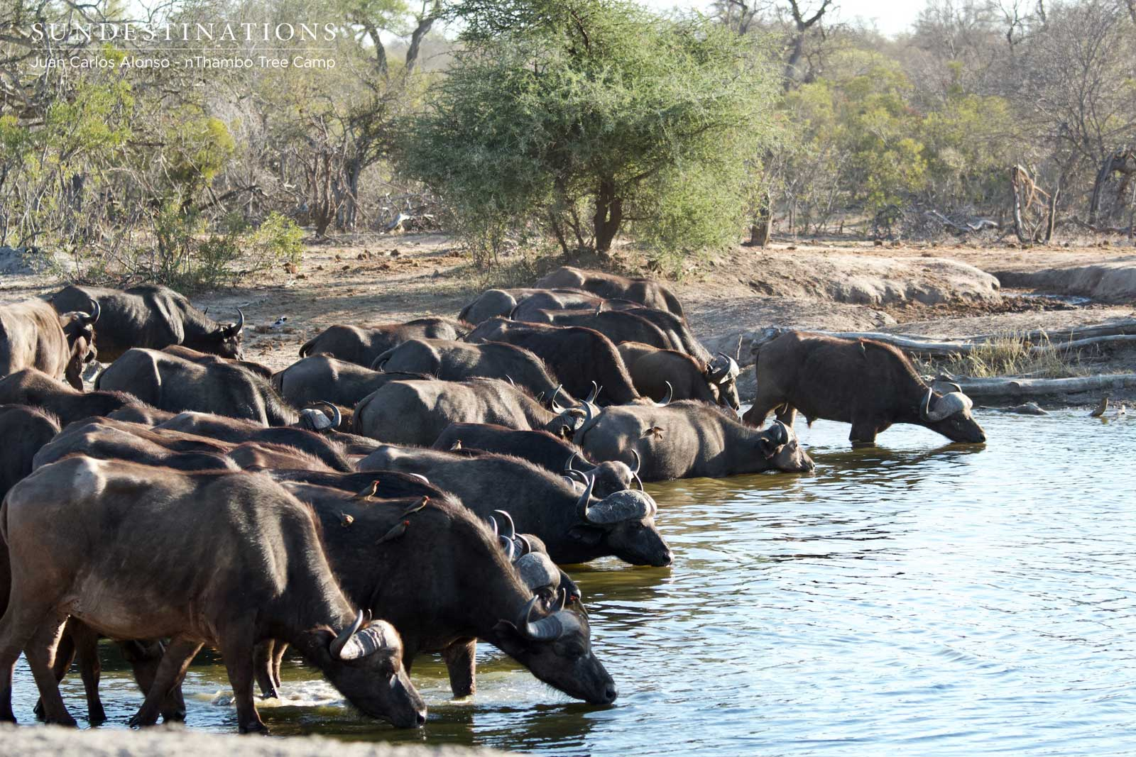 Buffalo Herd at nThambo Tree Camp