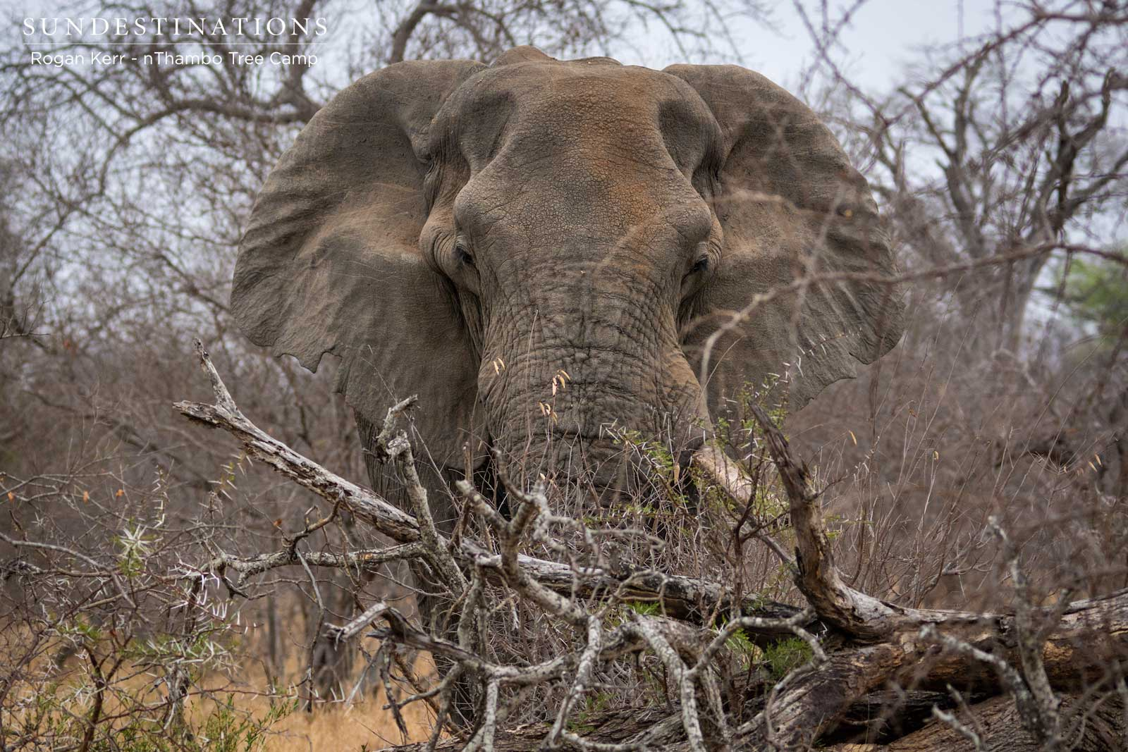 Elephant at nThambo Tree Camp