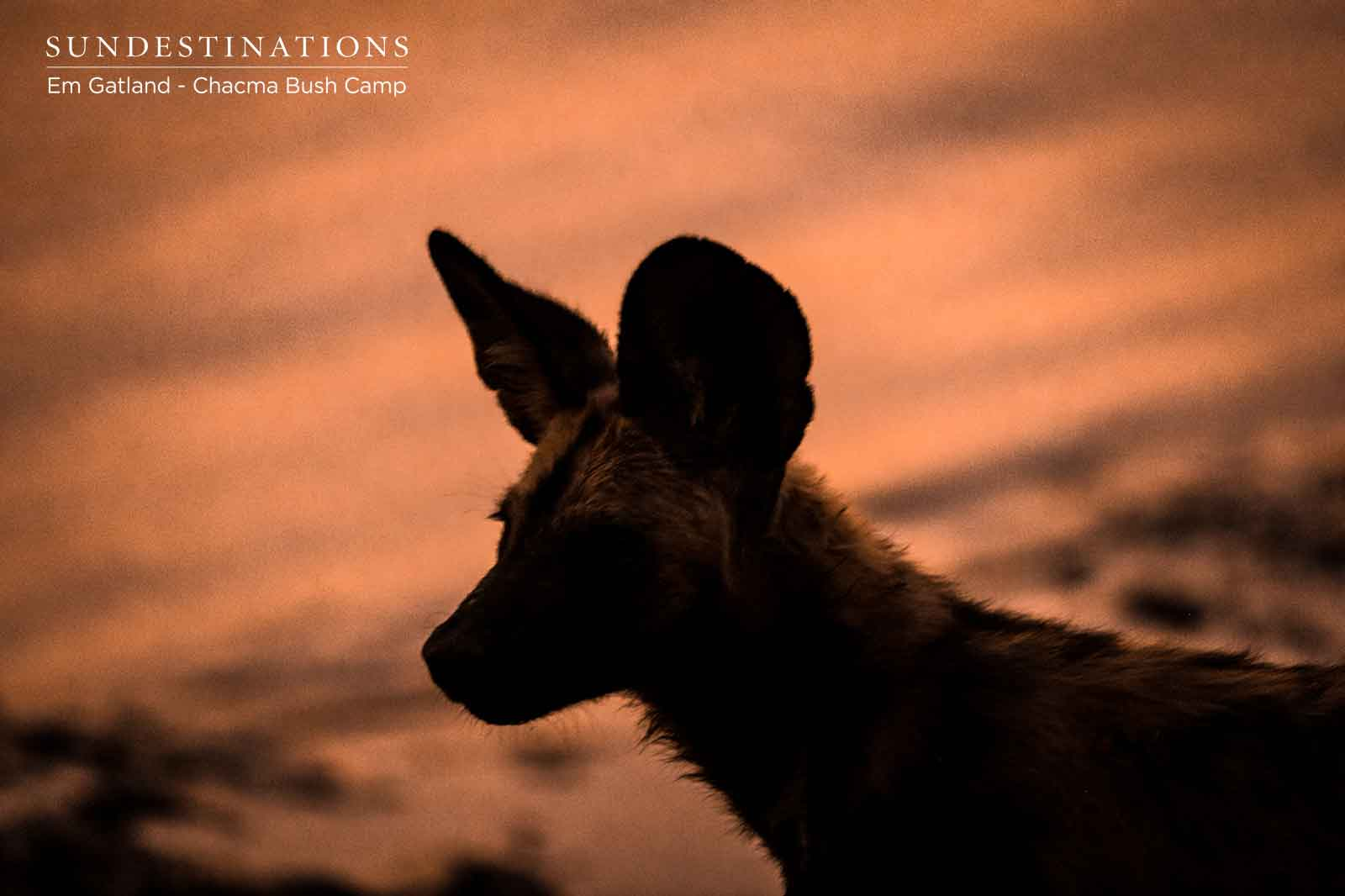 Chacma Wild Dog at Sunset