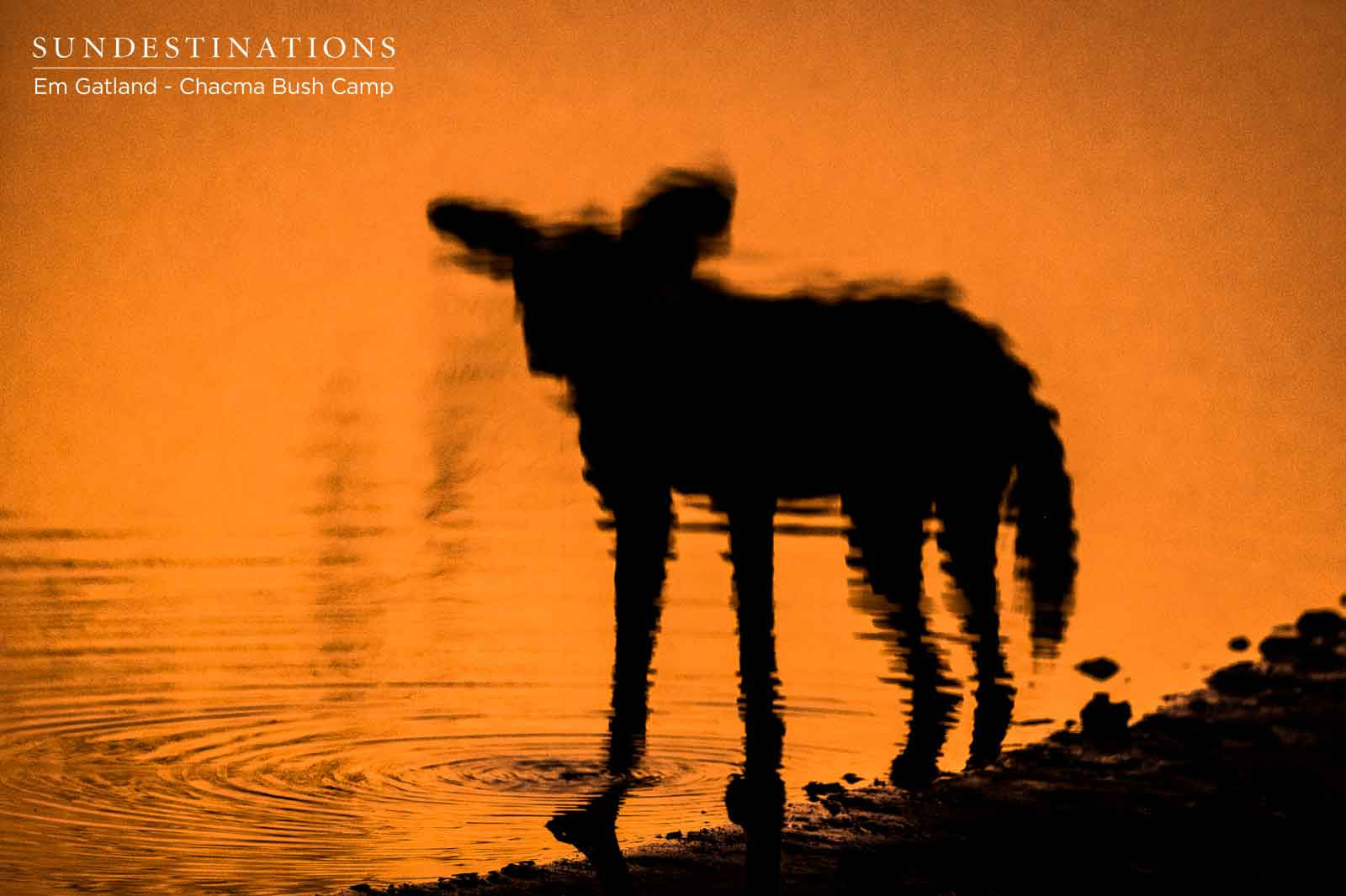 Chacma Wild Dog Reflections
