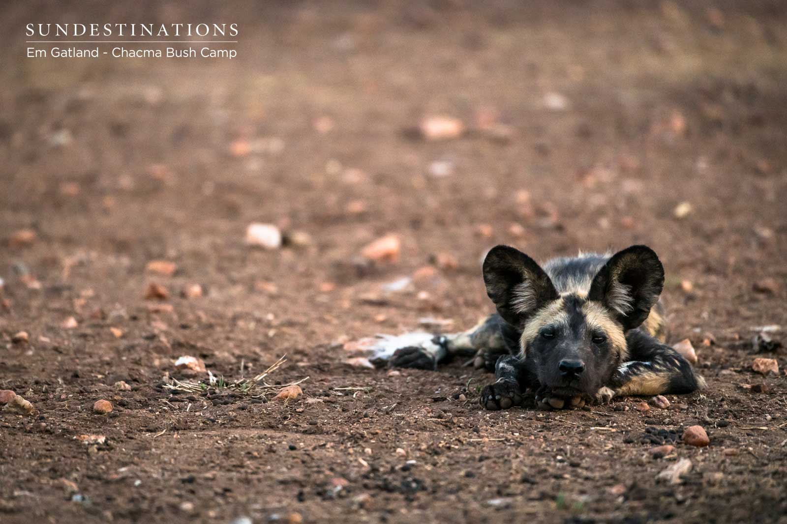 Sleeping Wild Dog