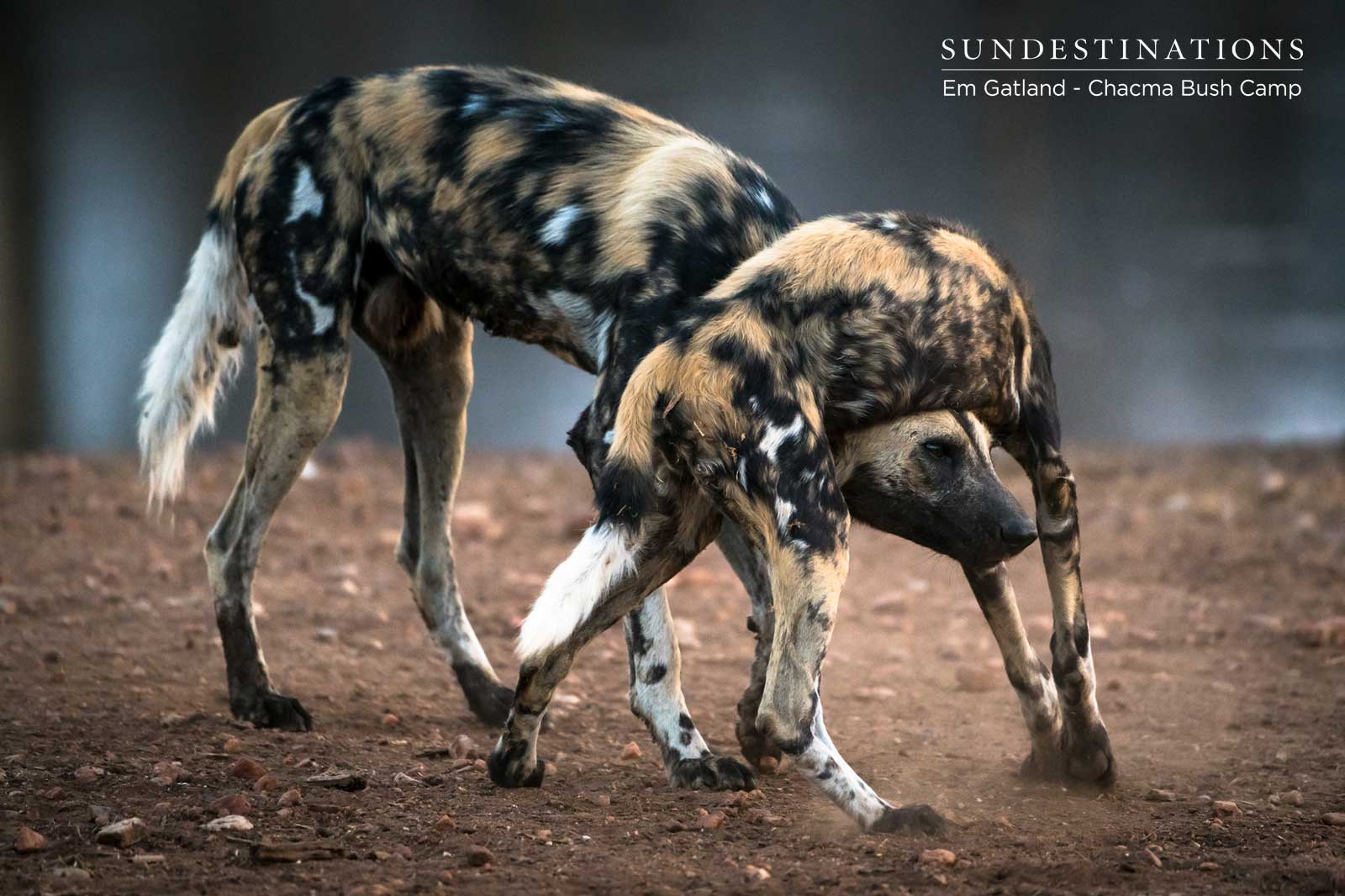 Couple of Wild Dogs