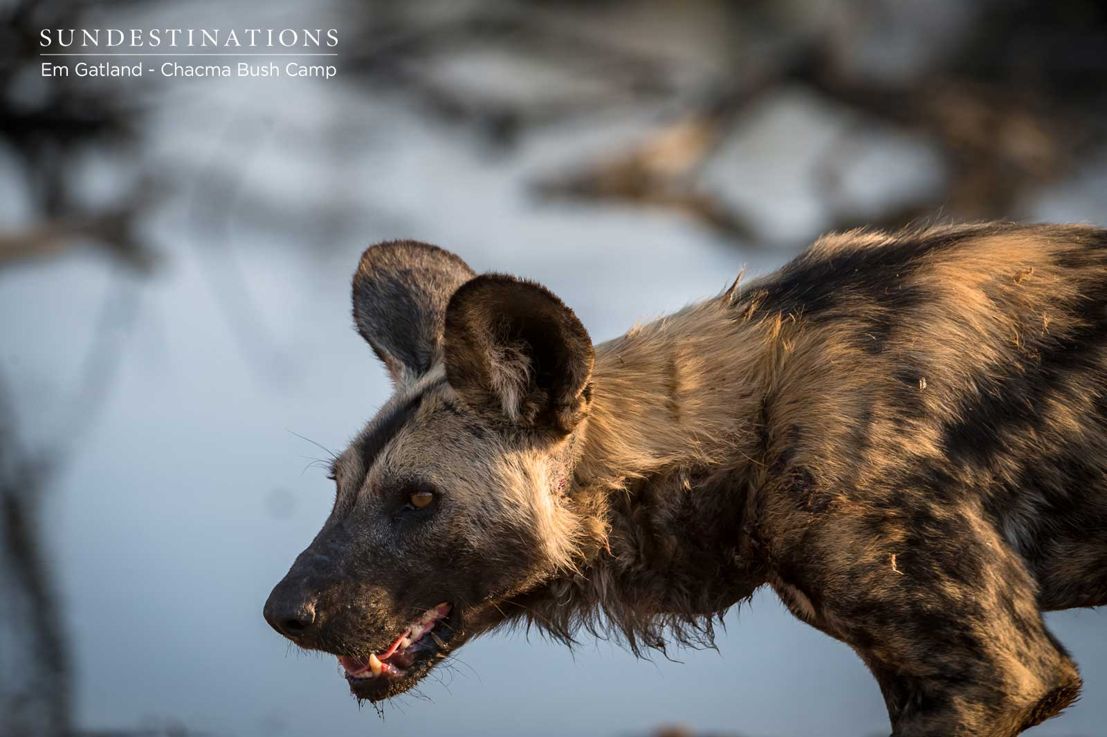 Wild Dog in Maseke