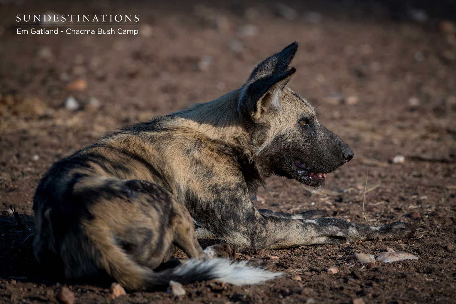 Wild Dog at Chacma Bush Camp