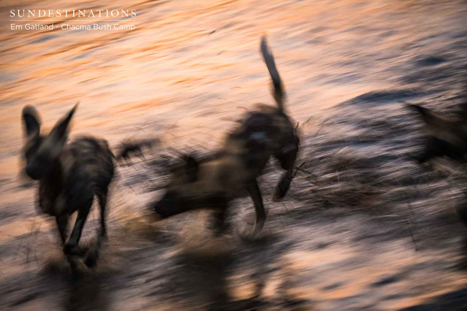 Pack of Wild Dogs in Maseke