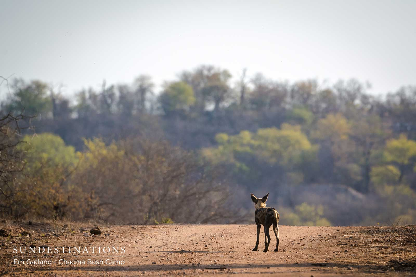 Lone African Wild Dog in the Maseke