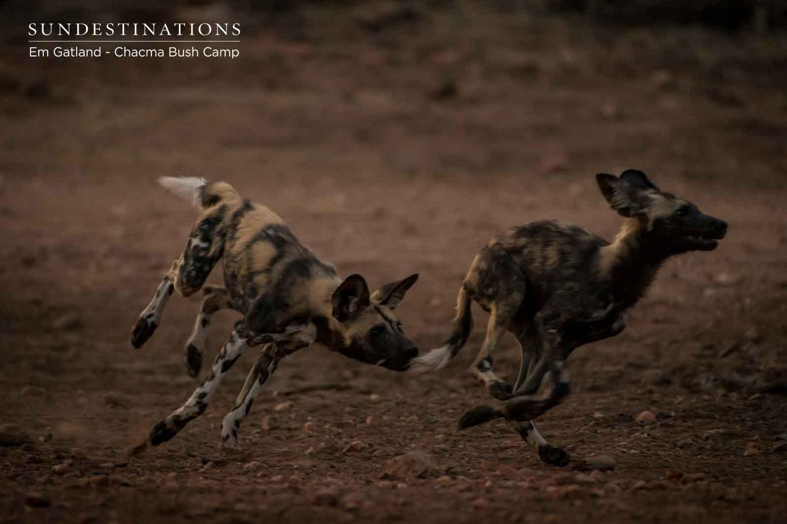 Trotting Wild Dogs