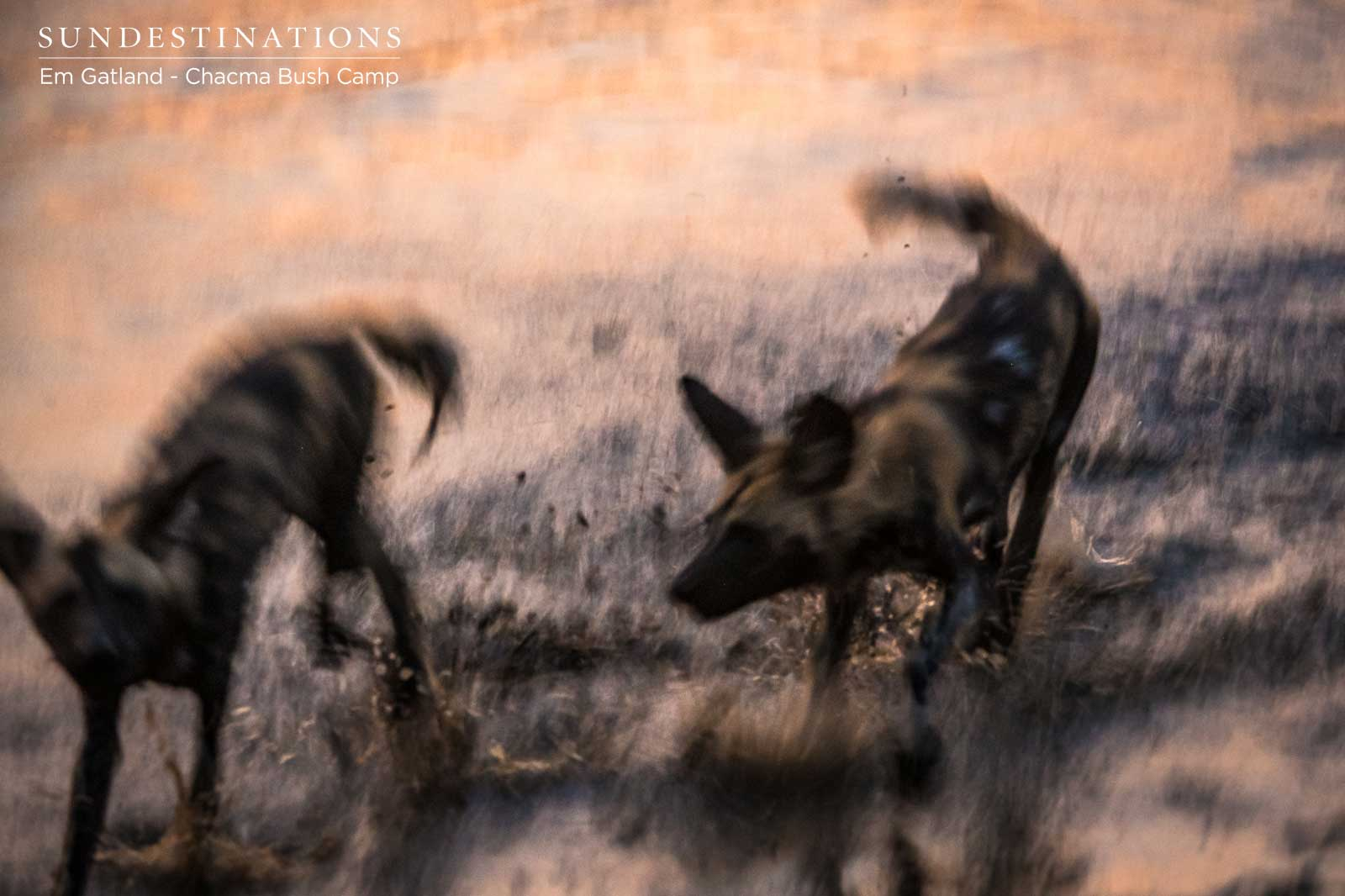 African Wild Dogs in Maseke