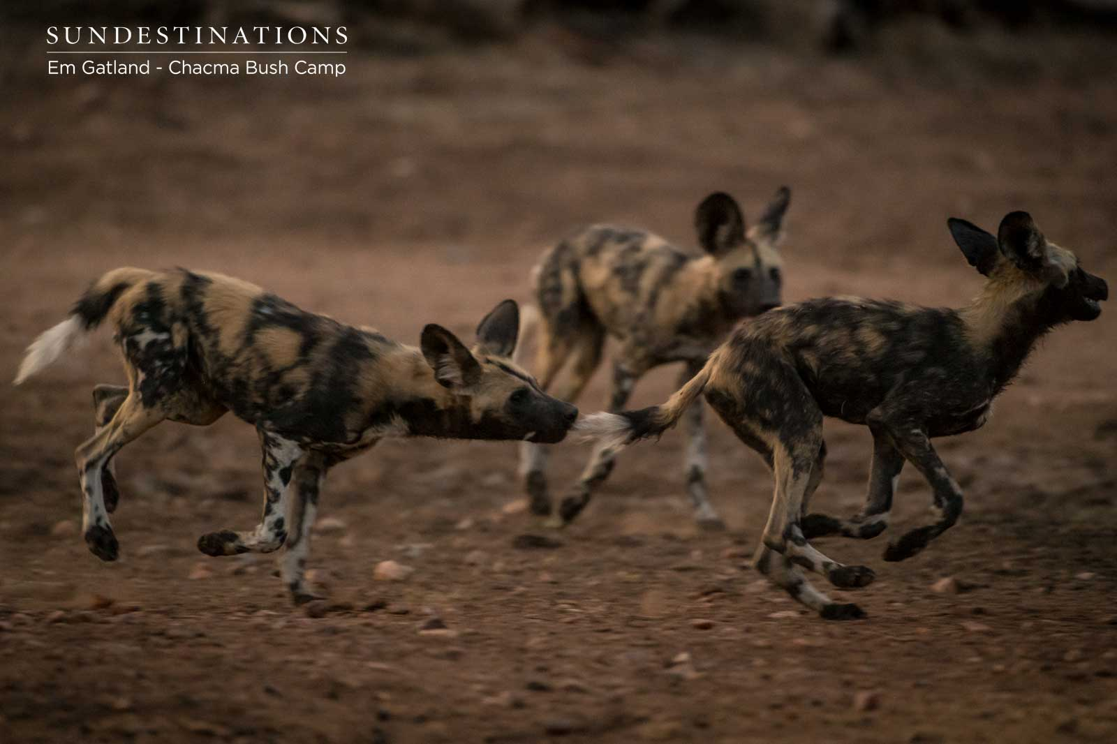 Pack of African Wild Dog