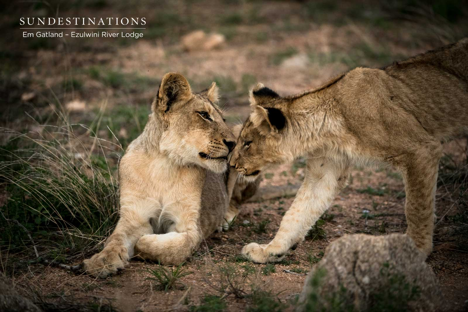 Two Lion Cubs at Ezulwini