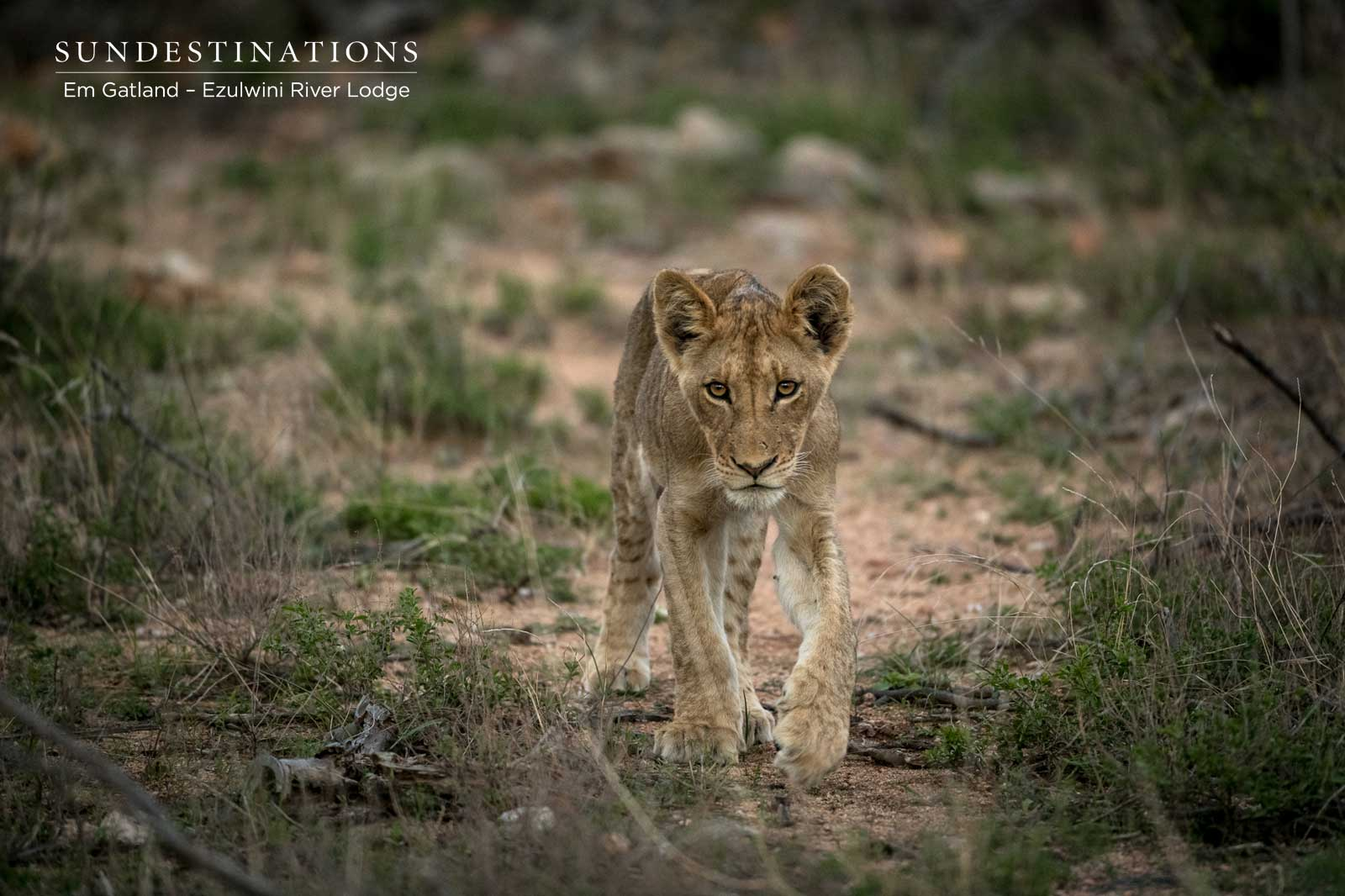 Lion Cub Walking Through the Bushveld