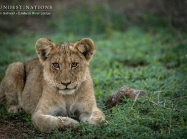 The Machaton male lions sired cubs with the Kudyela lionesses, and successfully increased their genetic bloodline in the Balule. These reigning kings sought to produce offspring to ensure their powerful genetics were passed down through the generations. The lion cubs are often spotted on Ezulwini's traverse, just bumbling around and patrolling boundaries with the older […]