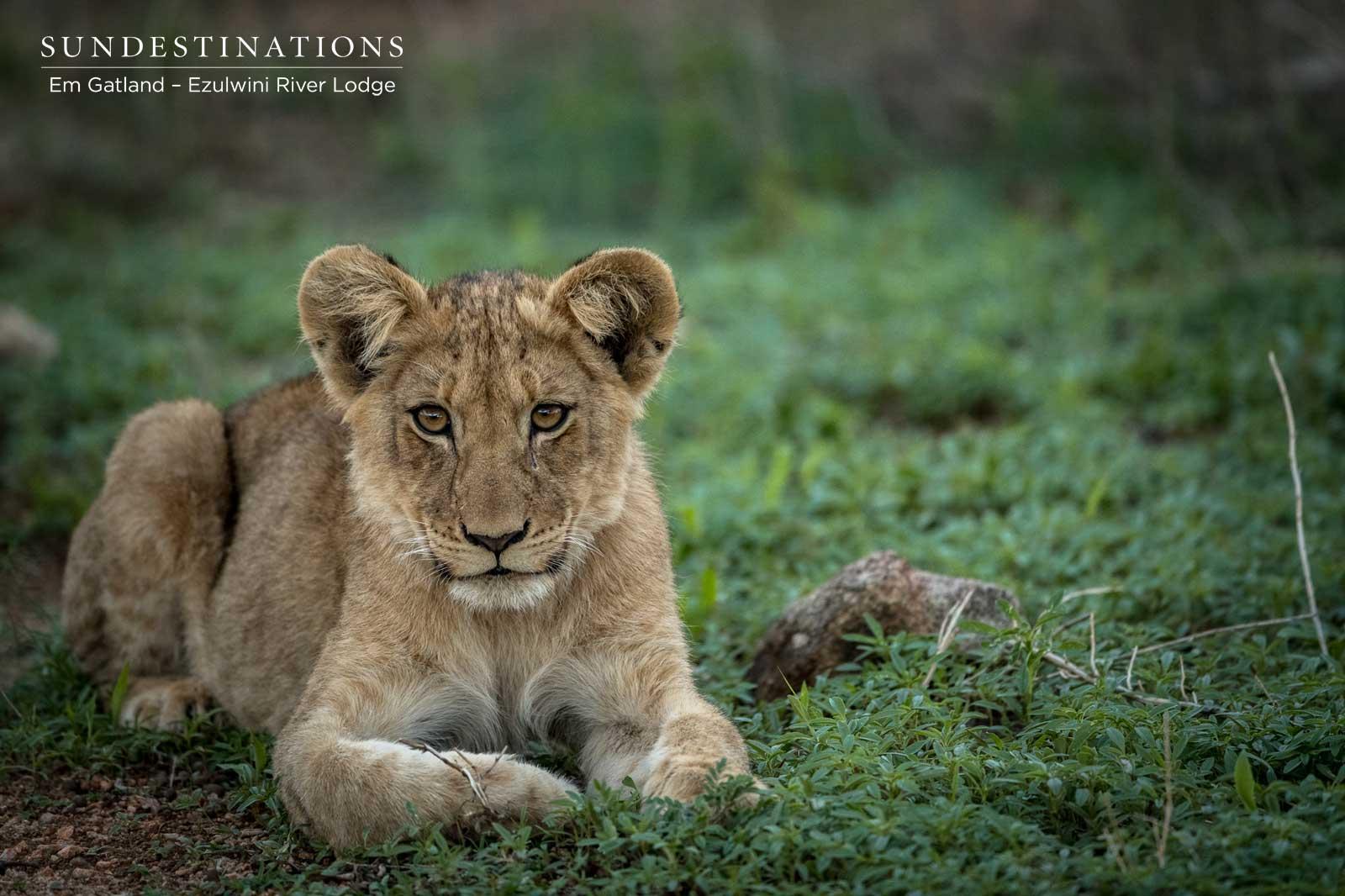 Ezulwini Lion Cubs in Balule