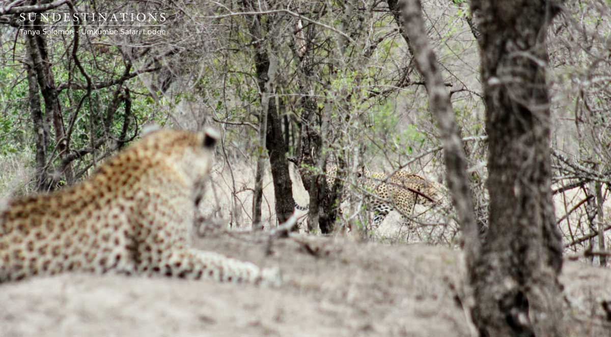 Umkumbe Male Leopards Declare War. It Gets Rowdy.