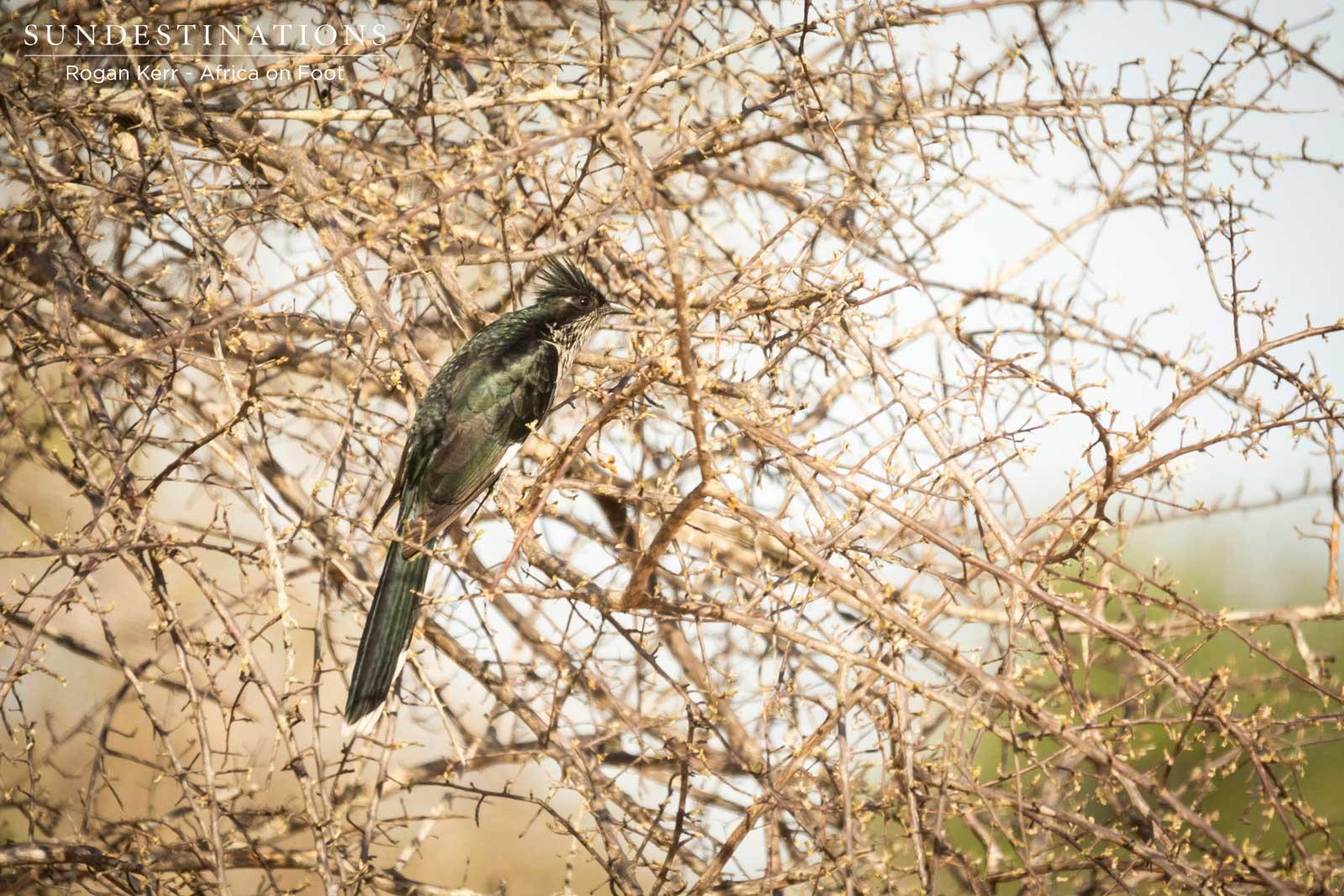 Birding in Klaserie