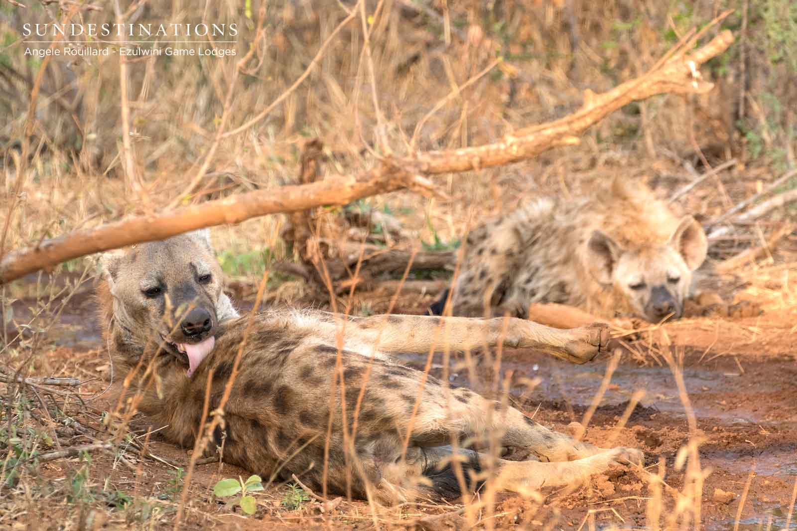 Hyena at Ezulwini Game Lodges