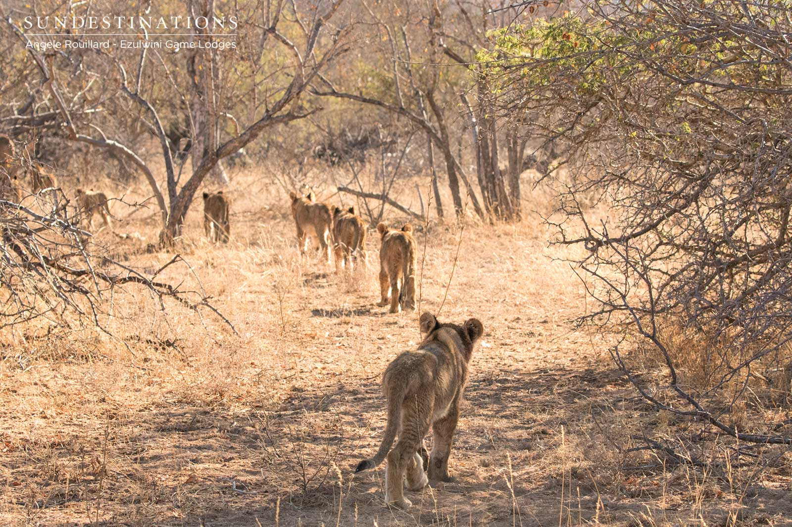 Lion Cubs of Balule