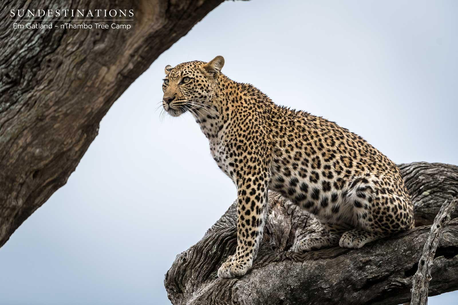 Nyeleti Leopard Klaserie