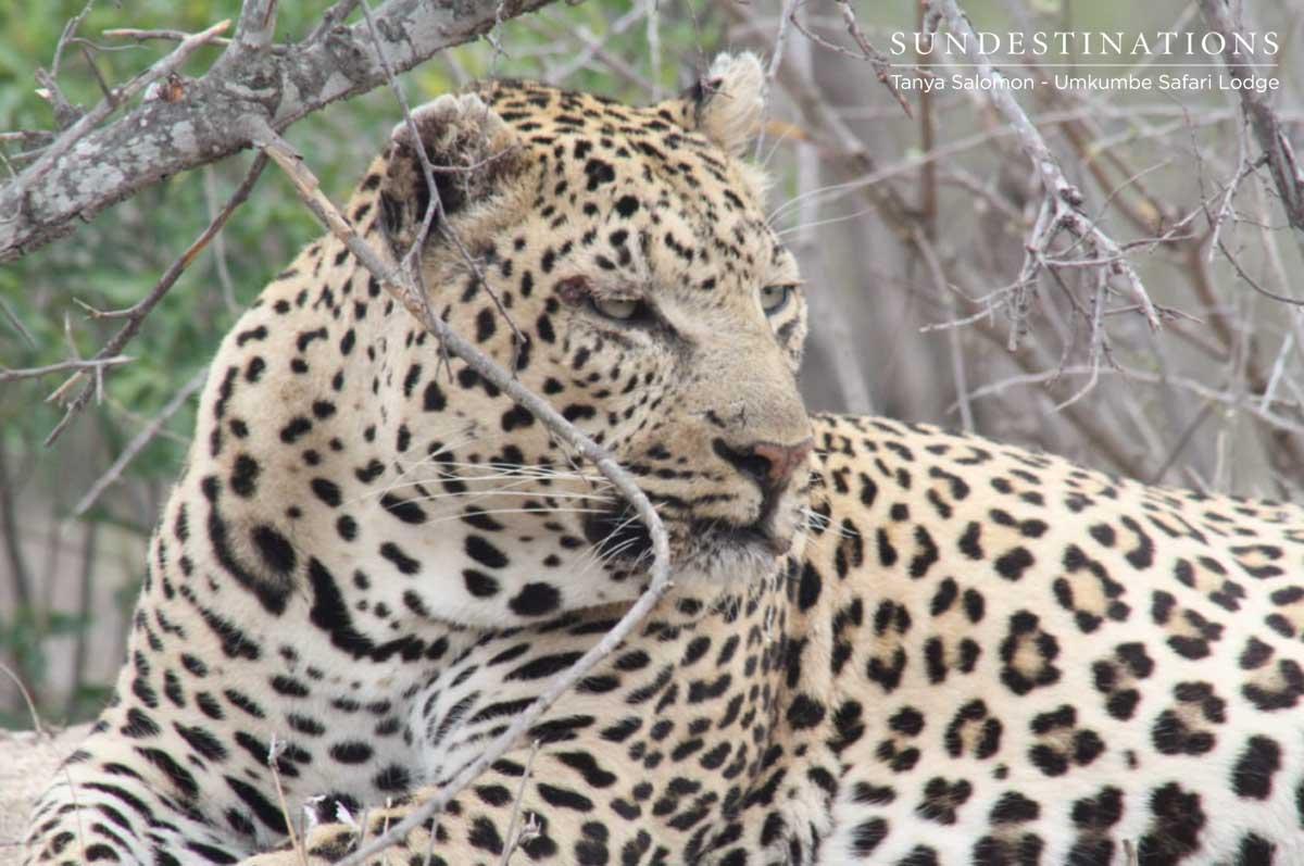 Inyathini Leopard