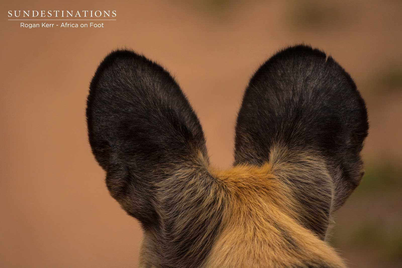 Wild Dog Antennae Ears