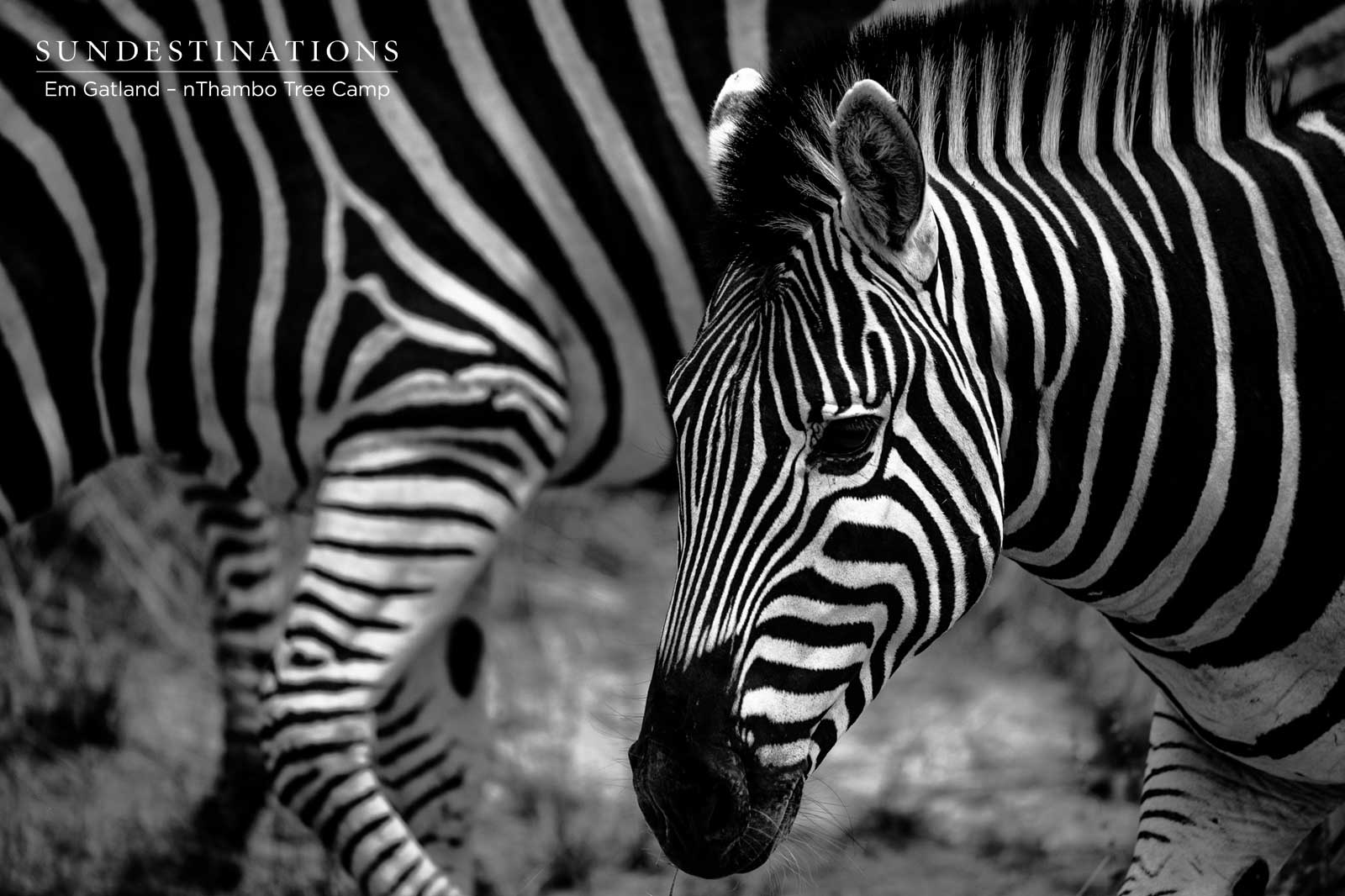 Zebra Herds at nThambo Tree Camp