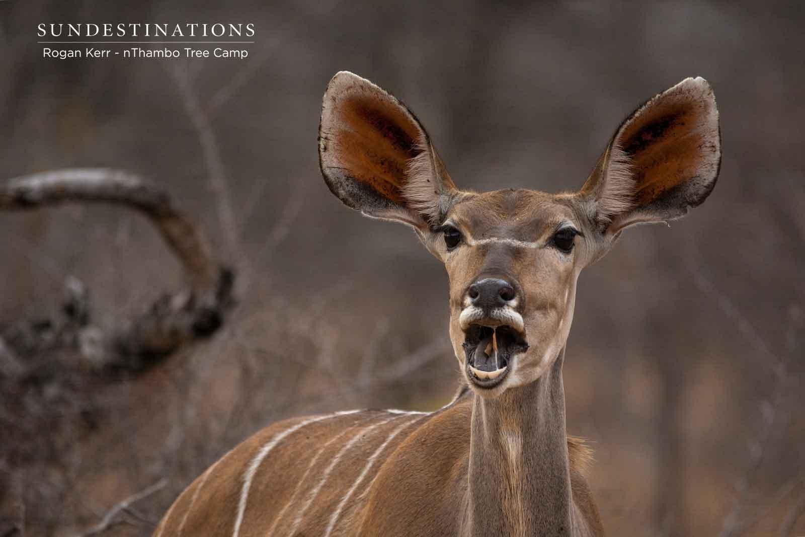 nThambo Kudu Cow
