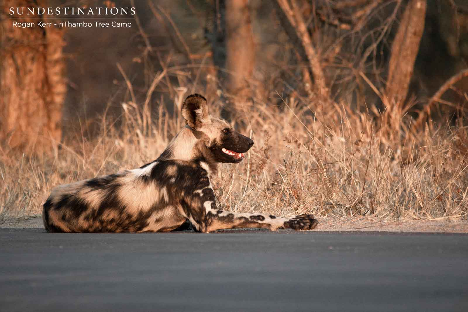 Wild Dog at nThambo Tree Camp