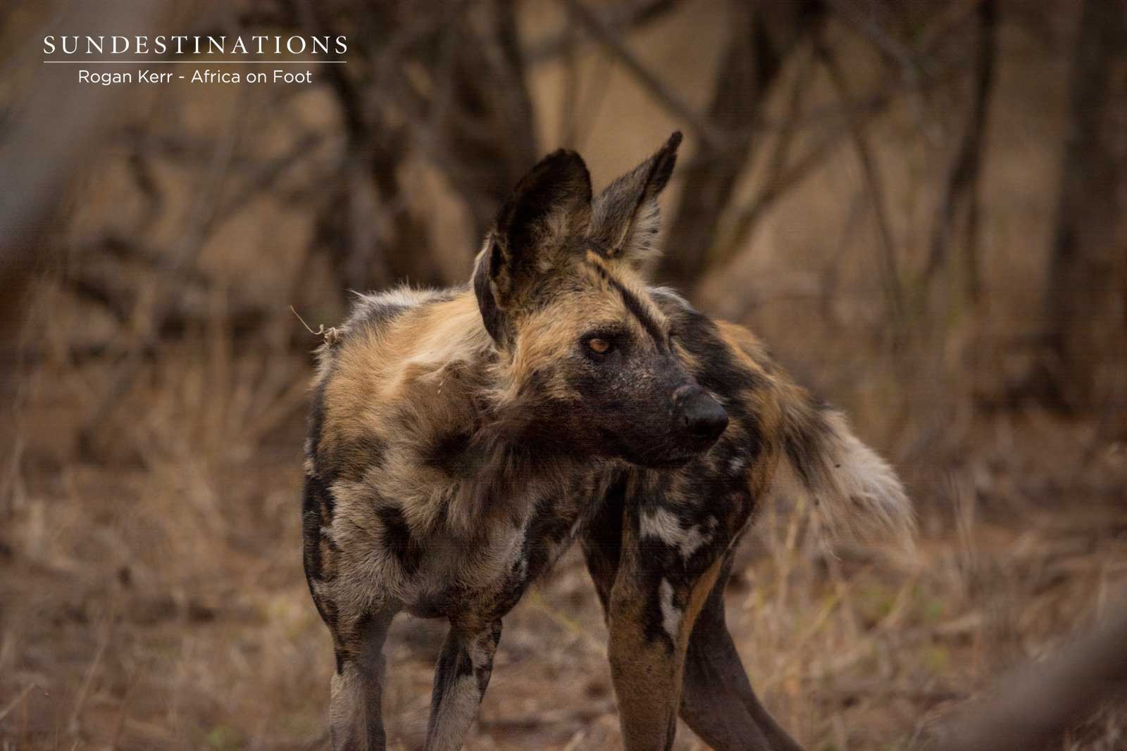 Wild Dogs at Africa on Foot
