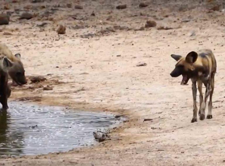 Lone hyena vs massive pack of wild dogs