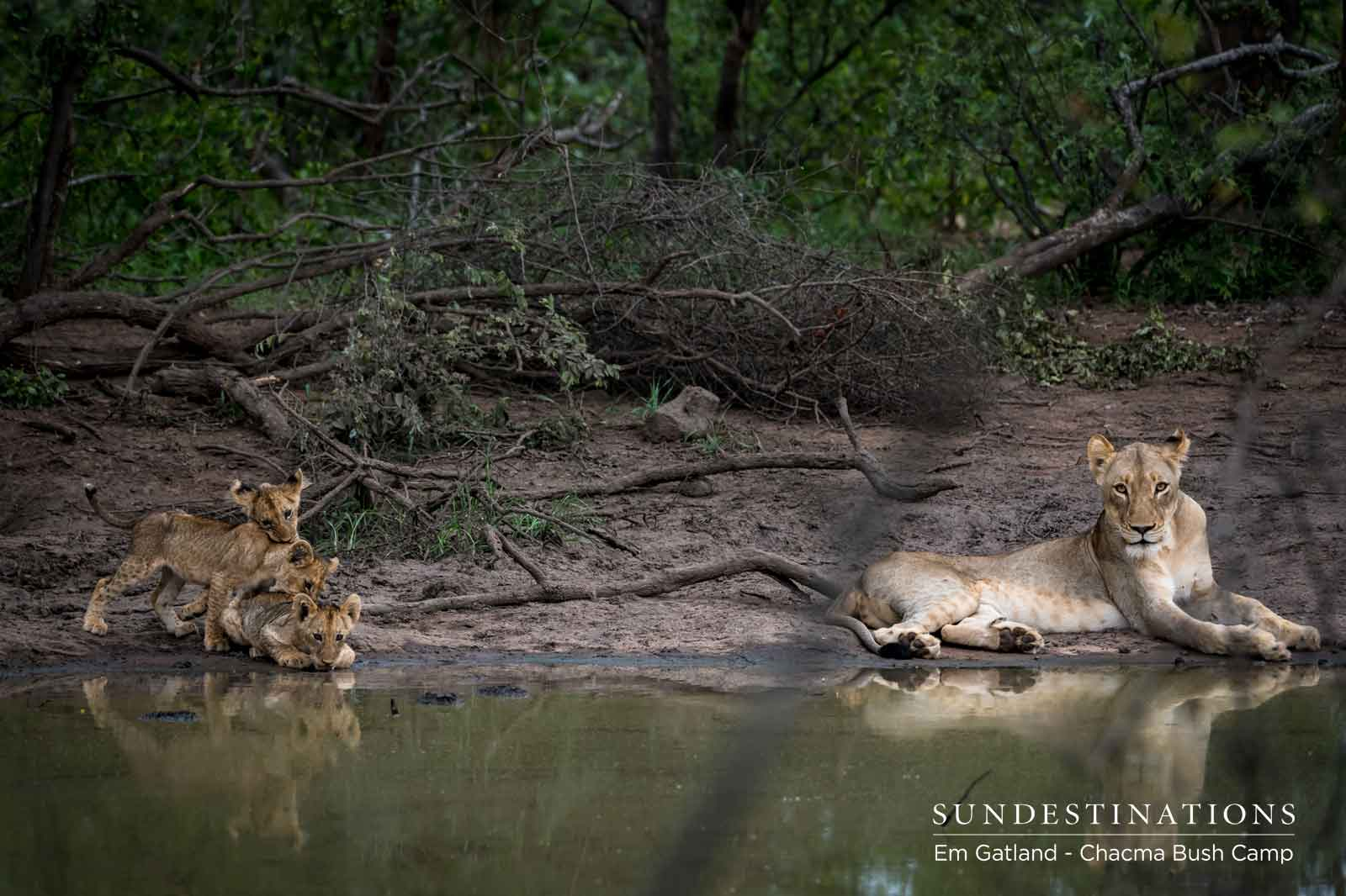 Chacma Lions and Cubs