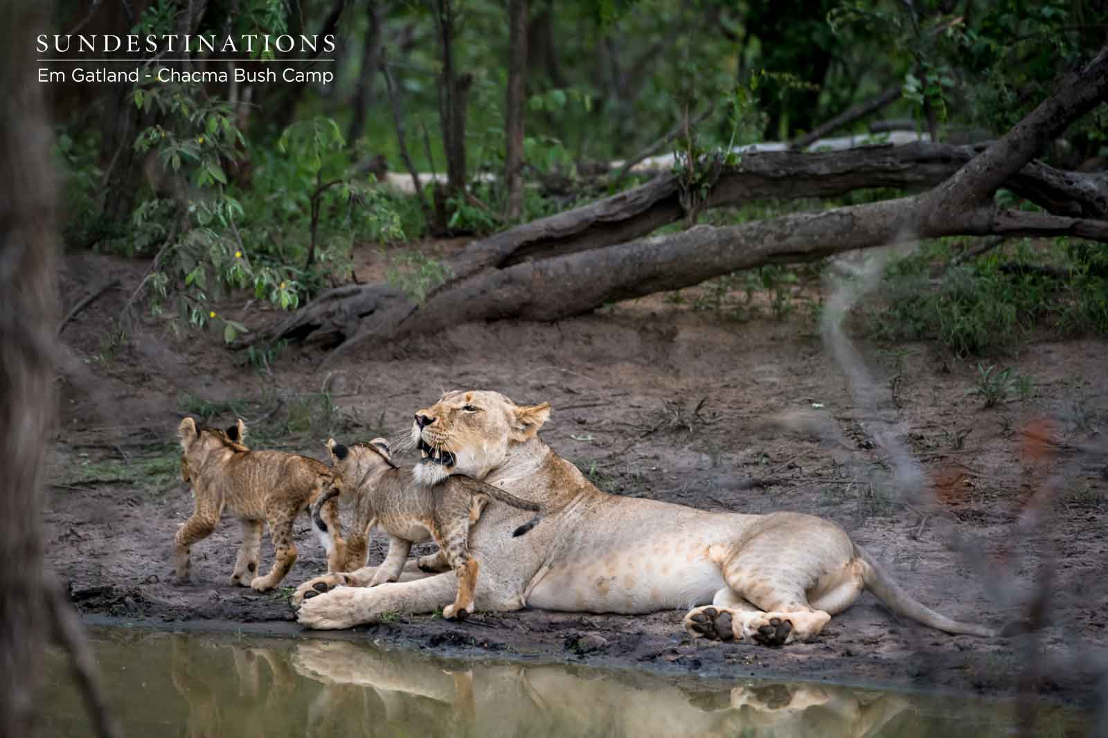 Chacma Lion Pride with Cubs