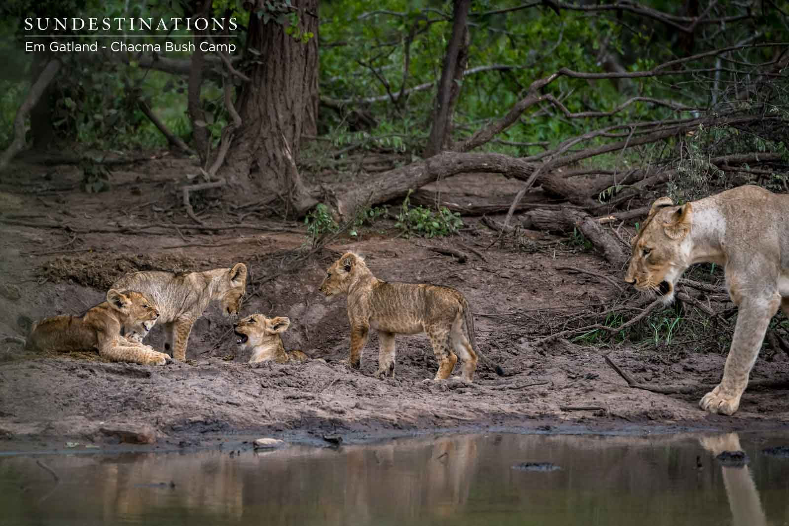 Chacma Cubs Lions