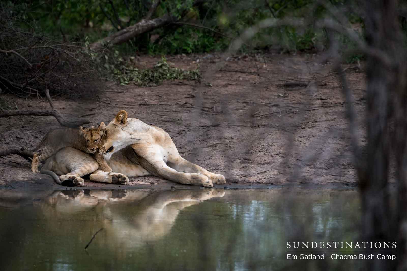 Chacma Lion Cubs Maseke